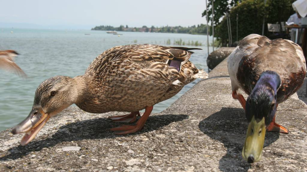 Enten rund um den Bodensee sind an Vogelgrippe erkrankt. (Symbolbild)