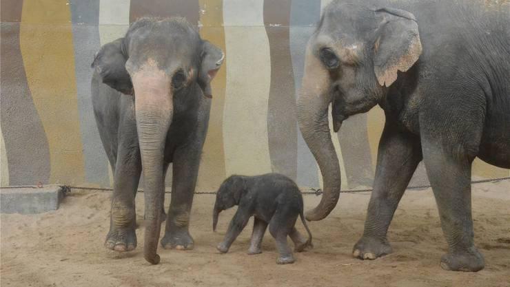 Das 100 Kilo schere Mädchen von Elefantenkuh Sandy ist die neue Attraktion im Kinderzoo von Rapperswil.