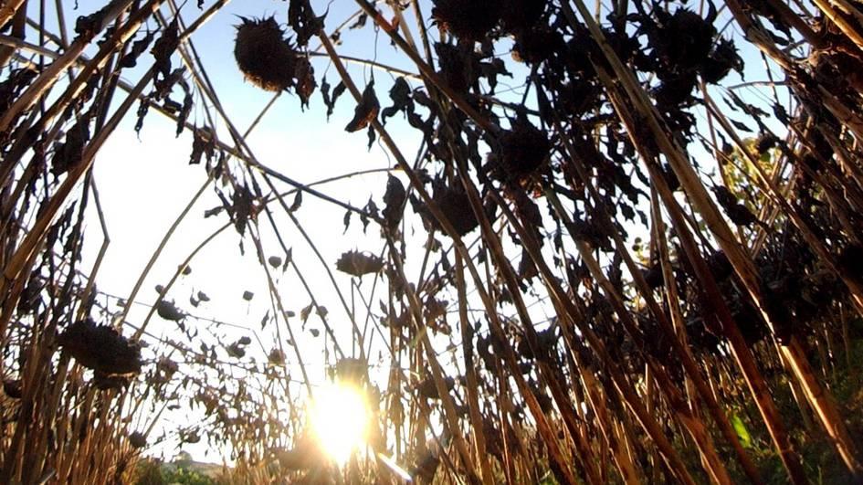 Sonnenblumen-Ernte vergessen?