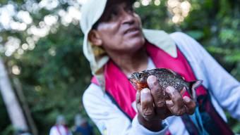 Piranha-Fischen im Amazons von Peru
