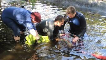 Die Helfer hatten eine Stunde, um sieben Störfische zu fangen und in den provisorischen Teich in der Minigolfanlage zu verlegen. Um den grössten unter ihnen, Igor, zu tragen brauchte es vier Männer (ab Minute 3.26).