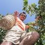 Flüchtlinge helfen bei der Ernte von Hochstammkirschen