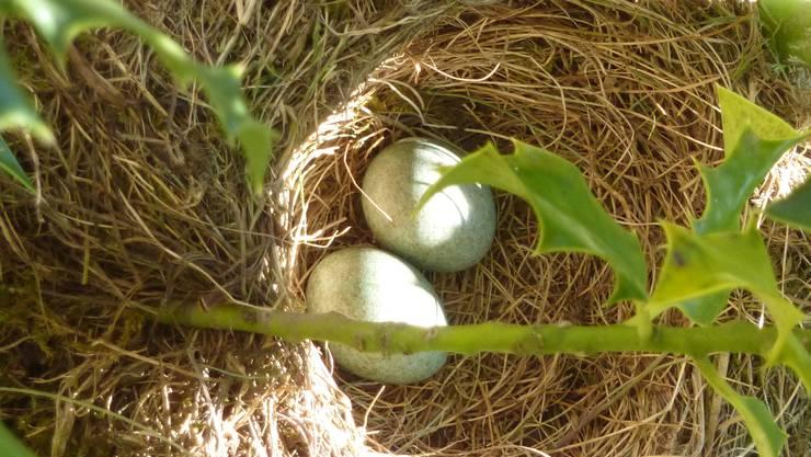 Am 22. April liegen zwei Eier im Nest.