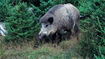 Jäger zahlen weiterhin für Wildschweinschäden.