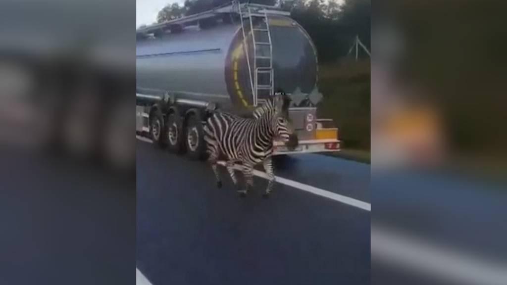 Zebra auf der Autobahn