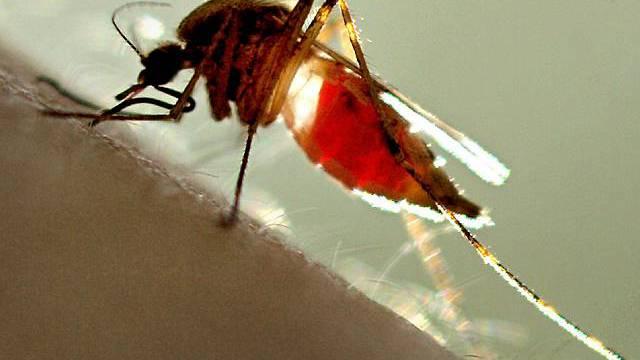 Aufnahme einer Stechmücke (Symbolbild)