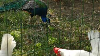 Dieser Pfau war letzte Woche noch im Aarauer Zelgliquartier unterwegs, nun ist er zurück im Wildpark. Ein weiteres Tier ist noch abgängig.