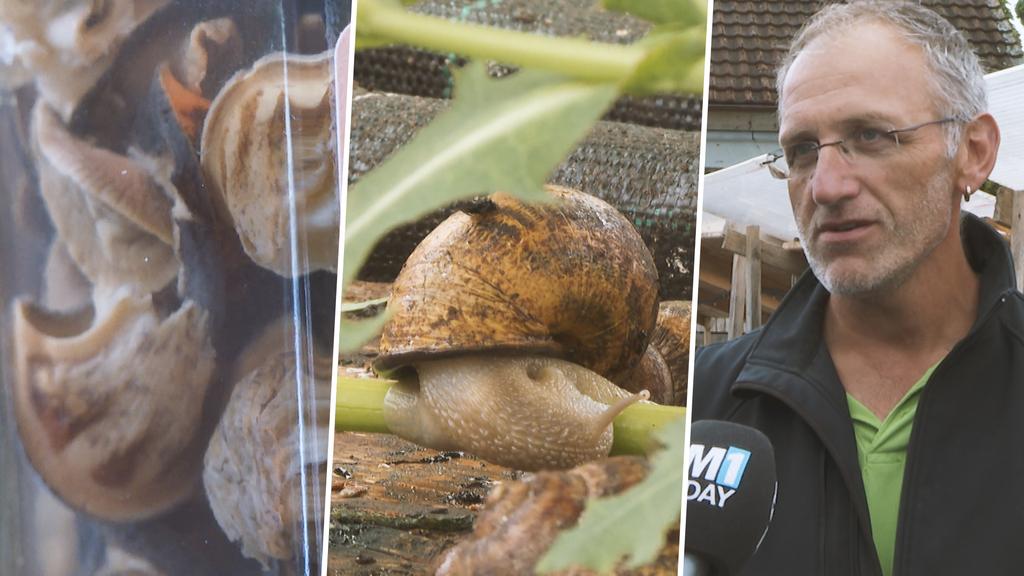 «Schnecken zu essen, ist Kopfsache» – zu Besuch auf der Schneckenfarm
