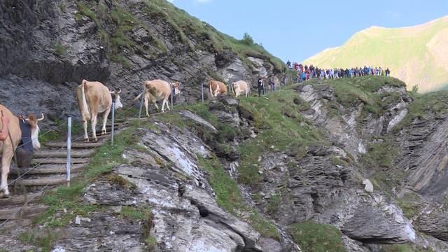 Wanderermagnet: Alpaufzug Engstligenalp