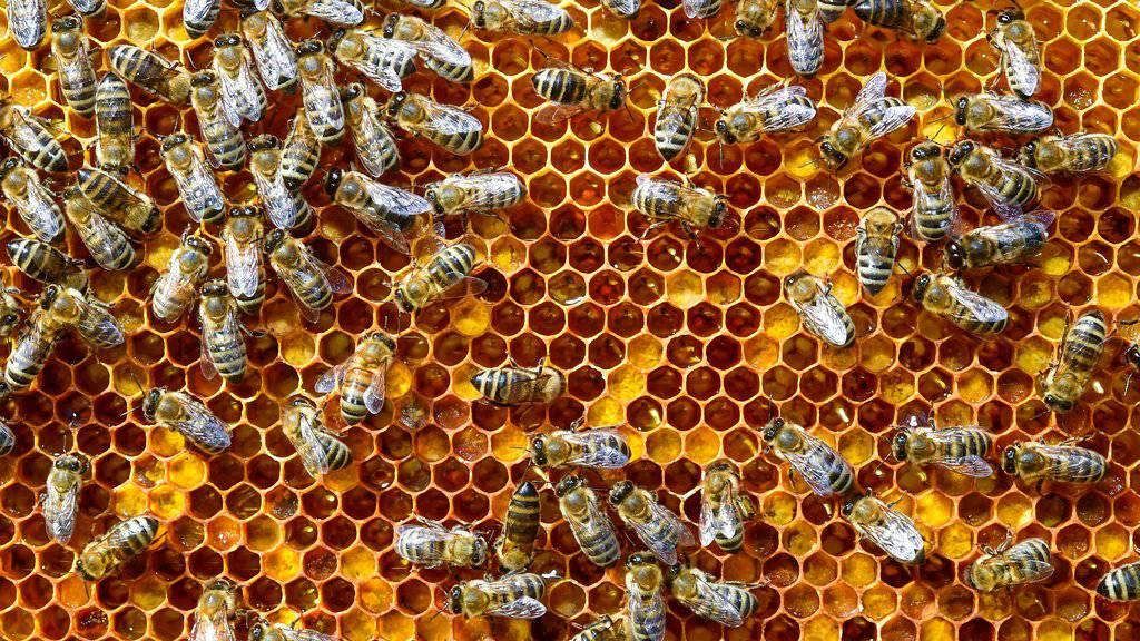 Fleissig sind sie immer - in diesem Jahr hat sich die Arbeit der Bienenvölker aber auch für die Imker und Imkerinnen gelohnt. (Archivbild)