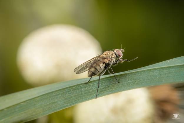 Neues aus dem Garten: Die ersten Fliegen sind endlich da. Fliege auf Gras mit verblühtem Löwenzahn im Hintergrund