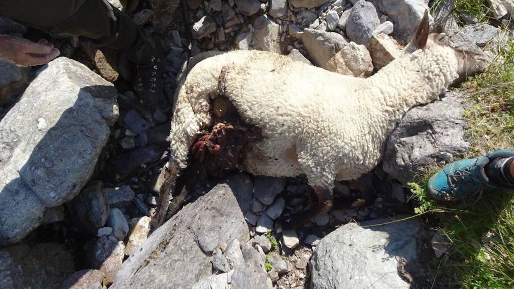 40 Schafe gerissen: Wolfspaar im Sarganserland unterwegs