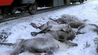 Über 60 Rentiere starben in Norwegen bei einem Unfall mit einem Güterzug - leider kein Einzelfall.