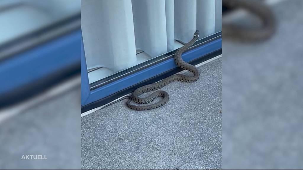 Schlangenalarm: Polizeieinsatz wegen Ringelnatter