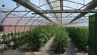 Was im Murimoos an Bio-Gemüse wächst, wird nicht nur im eigenen Laden direkt verkauft, sondern seit Jahren auch an Grossverteiler geliefert. ES