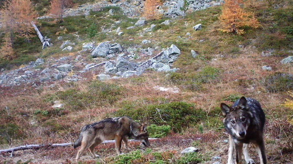 Der Bestand von Wölfen soll von den Kantonen reguliert werden können. Nach dem Wallis wird auch in Uri eine entsprechende kantonale Volksinitiative lanciert.