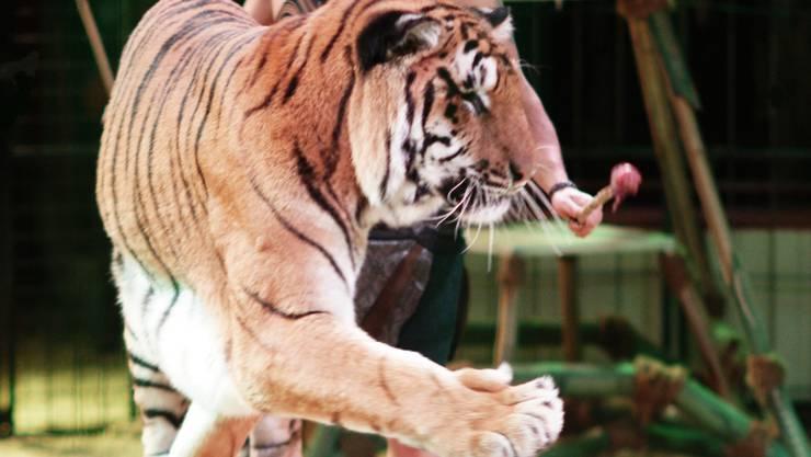 Das Programm des Circus Royal bietet eine Tiger-Nummer an. zvg
