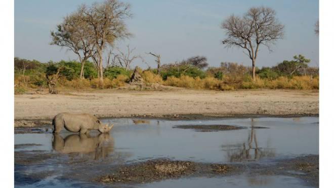 Im Okavango-Delta wurden seit 2001 zahlreiche Breit- und Spitzmaulnashörner wiederangesiedelt. So auch Mary. Foto: Fabienne Rikkli, Sanctuary Retreat
