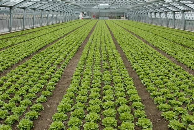 Früher wuchs der Kopfsalat auf offenen Feldern, heute vermehrt in Gewächshäusern, um die grosse Nachfrage abzudecken.