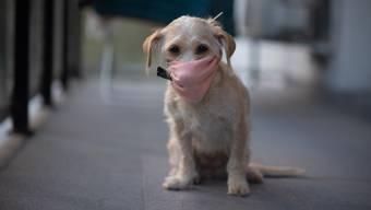Corona-Hund in Buenos Aires. (Photo by Mario De Fina/NurPhoto via Getty Images)
