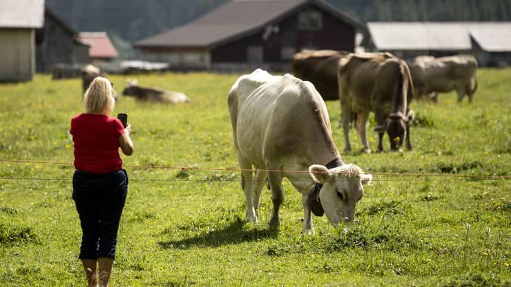 Kühe grasen auf dem Urnerboden.