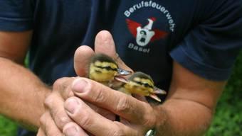 Die Feuerwehr löscht nicht nur Brände, sie hilft auch jungen Entenfamilien aus der Patsche: Verirren sich Entenmütter mit ihren Jungen, bringen die Feuerwehrleute diese wieder zum Wasser.