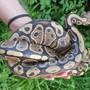 Höchstwahrscheinlich wurde die Schlange durch Unbekannte ausgesetzt.
