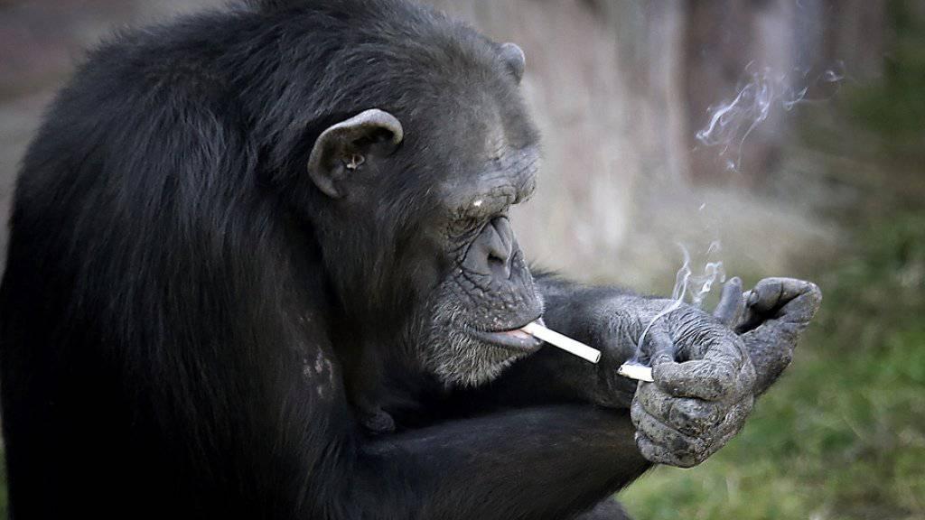 Für Zoobesucher lustig, nicht aber für den rauchenden Affen Manno: Er wurde in Kleidern fotografiert und in der Nacht in einen engen Käfig gesperrt. Nun wurde er von Tierschützern aus dem irakischen Zoo befreit. (Symbolbild)