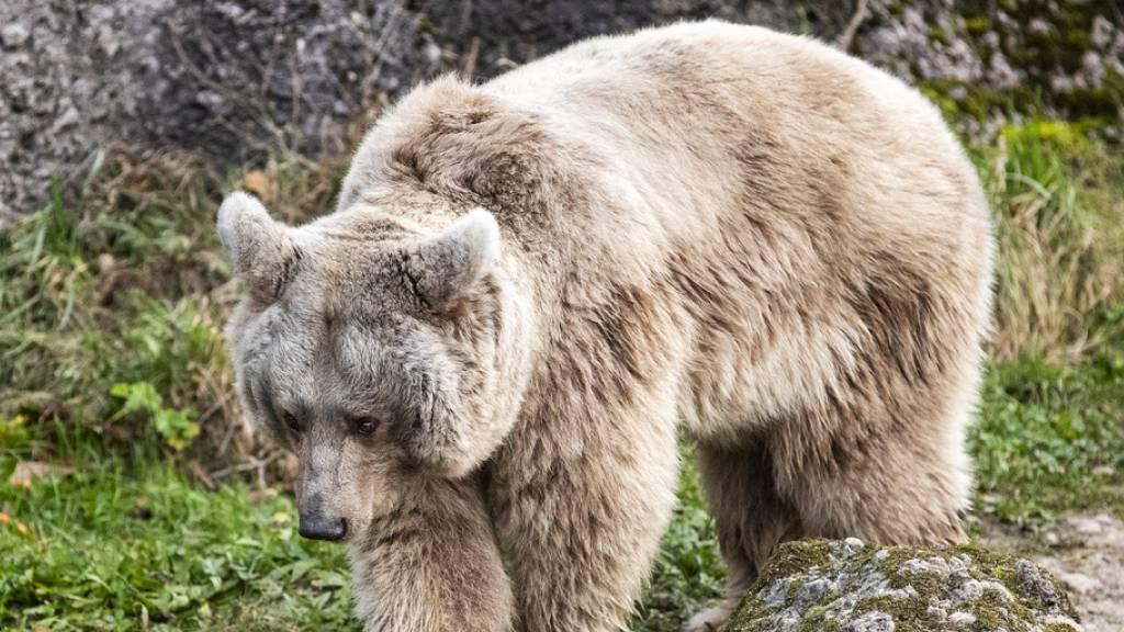 Warum Dickleibigkeit Bären keine Herz-Kreislaufprobleme beschert