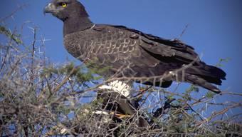Der Mann legte sich insgesamt rund 100 Sätze seltener Vogelfedern wie diesem Kronenadler zu. (Archiv)