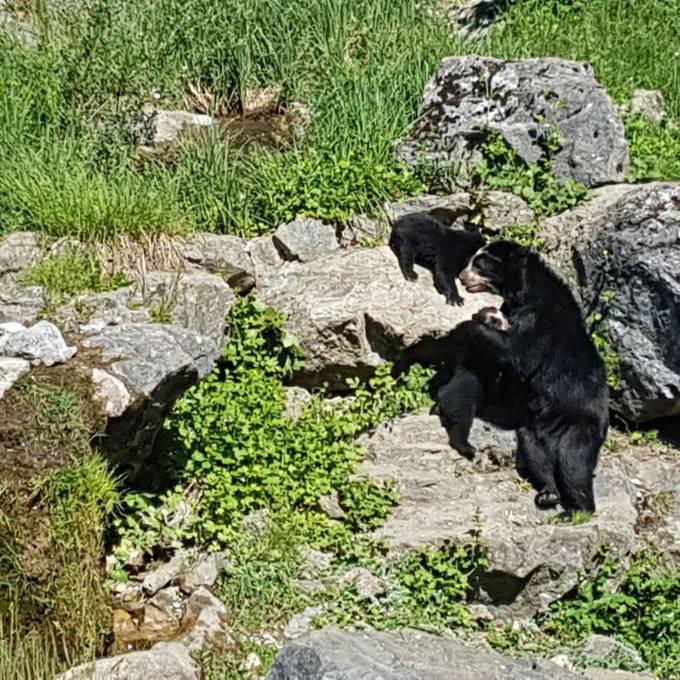 Die Brillenbären-Babys sind zum ersten Mal draussen