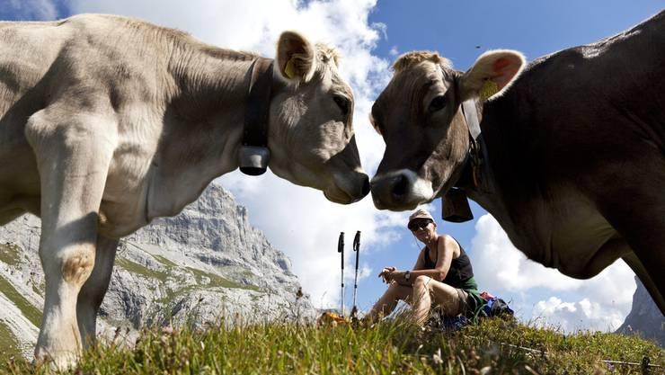 Zwei Rinder posieren am Samstag bei strahlendem Sommerwetter vor einer rastenden Bergwanderin auf ihrer Tour zur Sulzfluh im Bündnerland.