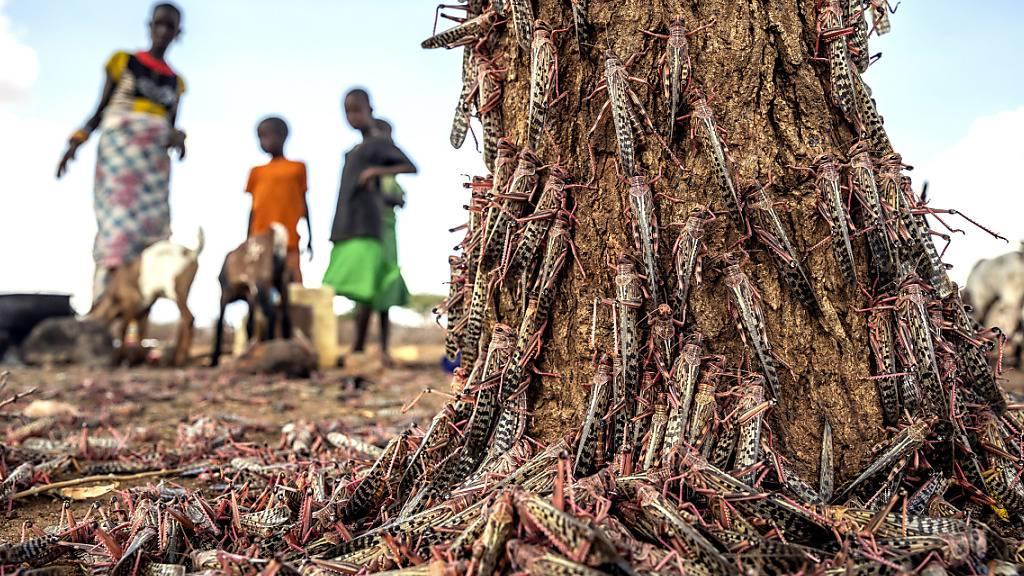 FAO: Erfolge im Kampf gegen Heuschrecken in Ostafrika und dem Jemen