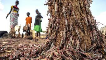 In Ostafrika gibt es Erfolge gegen die Heuschreckenplage: Hunderte der Tiere an einem Baumstamm Ende März  in Kenia.