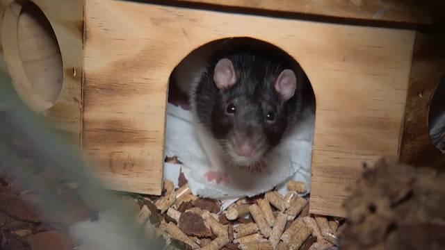 Wie diese Ratte von einem Feuerwehrmann gerettet wurde und ein neues Zuhause fand