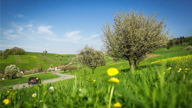 Prächtig blühende Kirschbäume, hier in Mandach. Sind ihre Früchte bedroht?