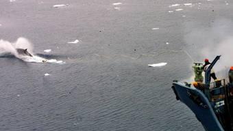 Kommerzieller Walfang wird nicht erlaubt: Die Internationale Walfangkommission lehnte einen entsprechenden Antrag Japans ab. (Archivbild)