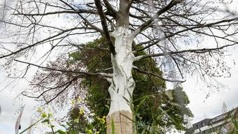 Die kranke Seite der Blutbuche müsste radikal geschnitten werden, damit der Baum eine Überlebenschance hat. (Archiv)