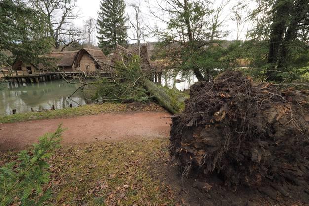 Der Sturm hat den Baum entwurzelt.