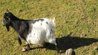 Sind drei Ziegen im städtischen Gehege in Rheinfelden gestorben?