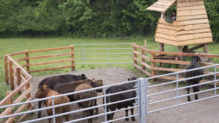 Die Rinder auf der Weidekoppel