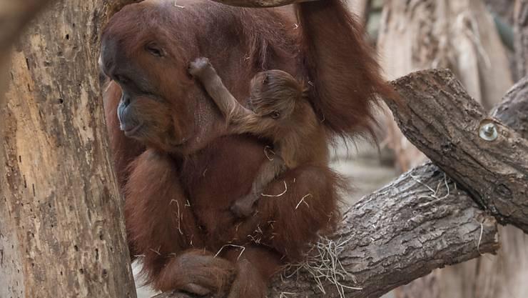 Noch namenlos: Das Orang-Utan-Junge im Frankfurter Zoo klammert sich im Fell seiner Mutter fest. Es ist zehn Tage alt.
