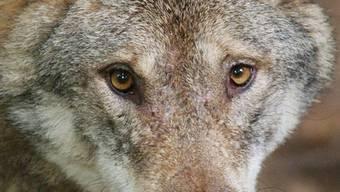 Derzeit leben in der Schweiz wohl rund 50 Wölfe.