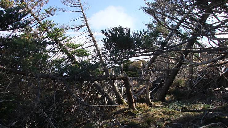 Ein Taifun brachte im Oktober 2012 diese Koreatannen im Hallasan National Park in Südkorea zu Fall.