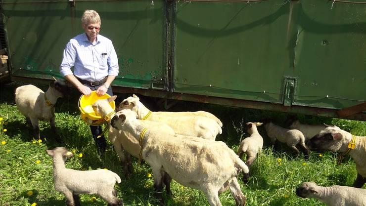 Hans-Ueli Baumgartner, Präsident des Aargauischen Schafzuchtvereins, bei seinenSchafen.