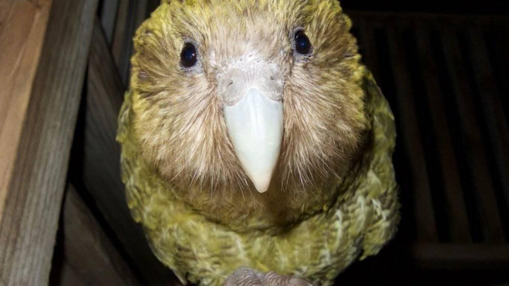 Für einmal ist der Klimawandel auch für etwas gut: Dank der Wärme ist bei den vom Aussterben bedrohten Kakapo-Papageien der Baby-Boom ausgebrochen. (Foto New Zealand Department of Conservation)
