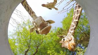 Was da wohl drin ist – oh, bin das ich? Die Kölner Zootiere entdecken ihre Spiegelbilder.