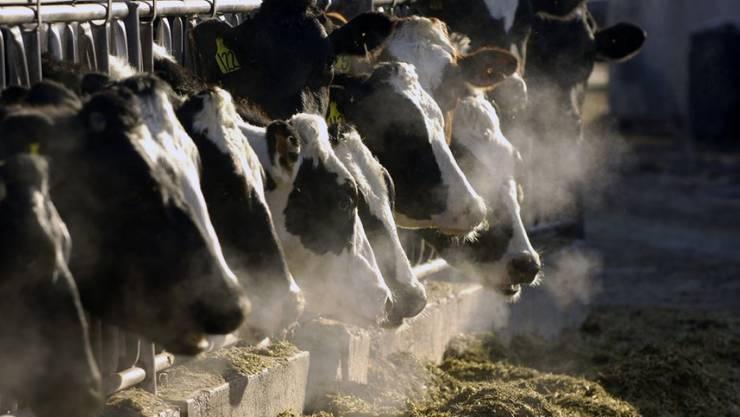 Die Holstein Kühe bleiben im Stall: Die Expo Bulle wurde abgesagt, um eine Verbreitung der Bovinen Virus-Diarrhoe (BVD) zu vermeiden. (Symbolbild)
