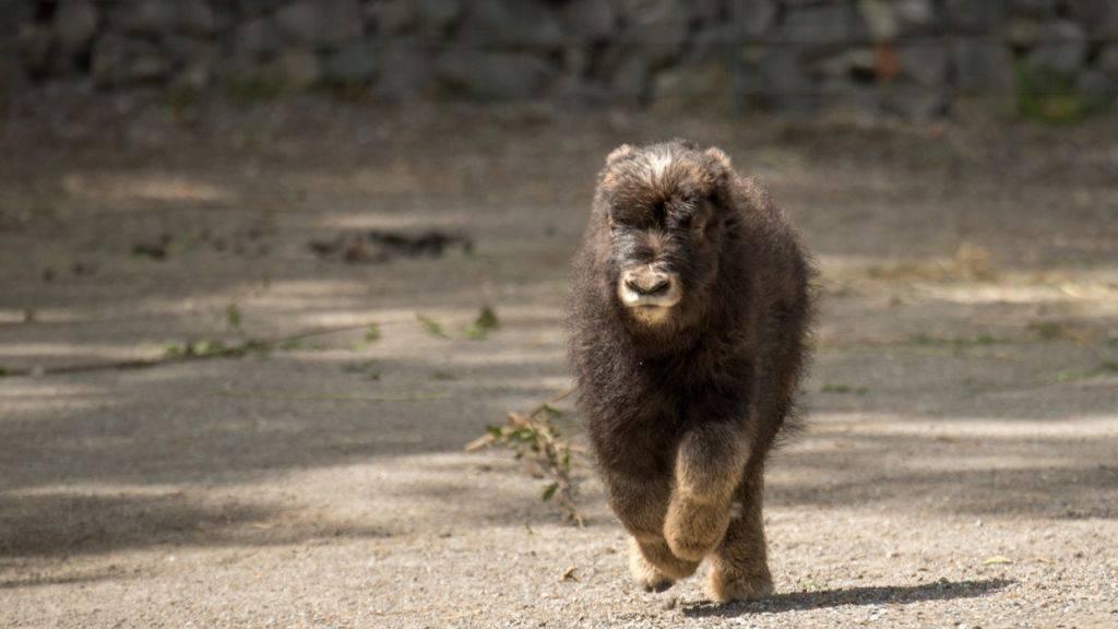 Der kleine Moschusochse im Berner Tierpark Dählhölzli ist auf Trab und entdeckt seine Umgebung.