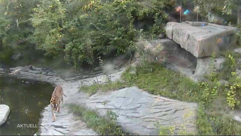 Tierpflegerin im Zoo Zürich stirbt nach Tigerattacke